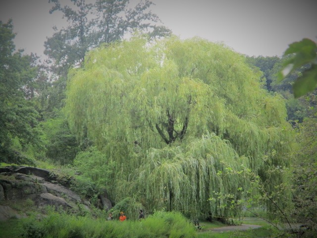 Taken by Payton 2, Age 15: The Weeping Willow