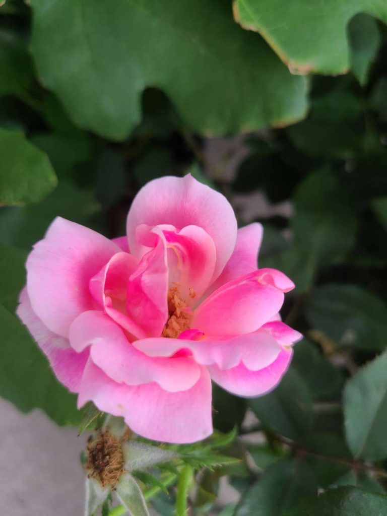 """""""Pink Flower"""" by Janice"""